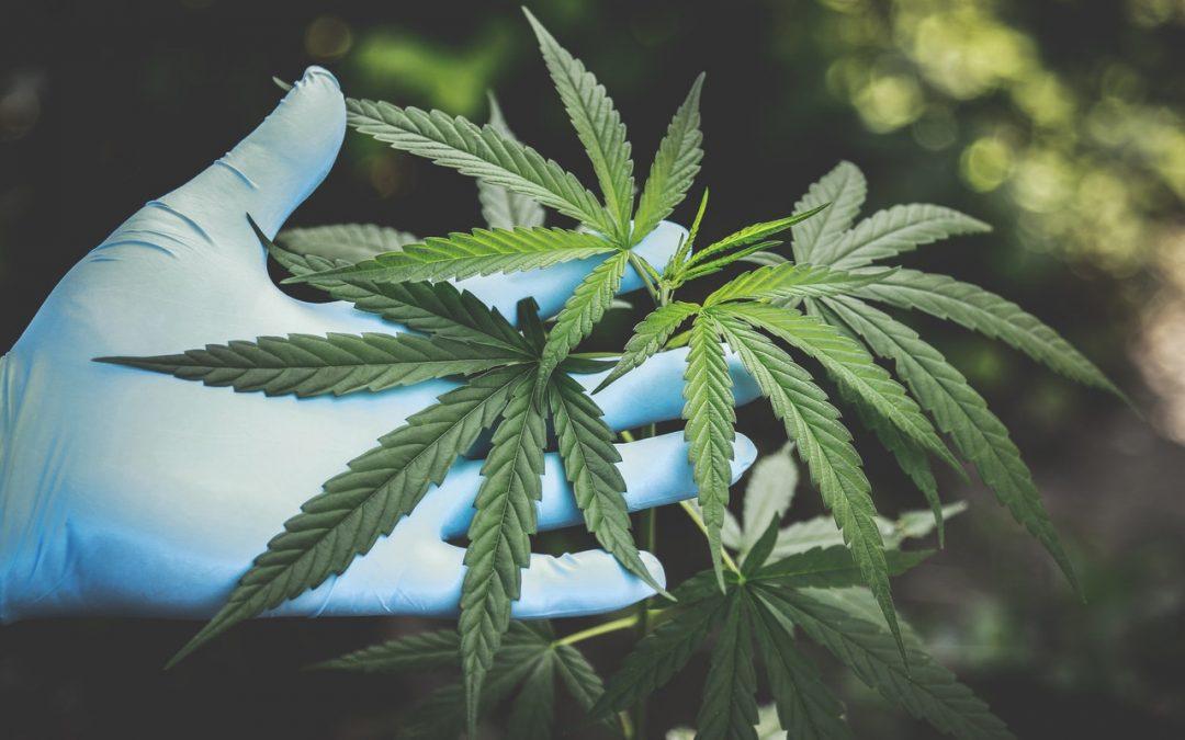 Onderzoek naar cannabisolie bij leverkanker